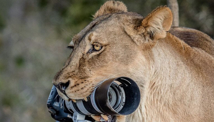 Lioness Steals Wildlife Photographer's Camera, Cubs Use It as a Toy