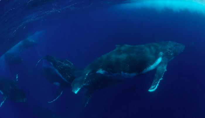 Photographer Captures Amazing Footage of Humpback Heat Run