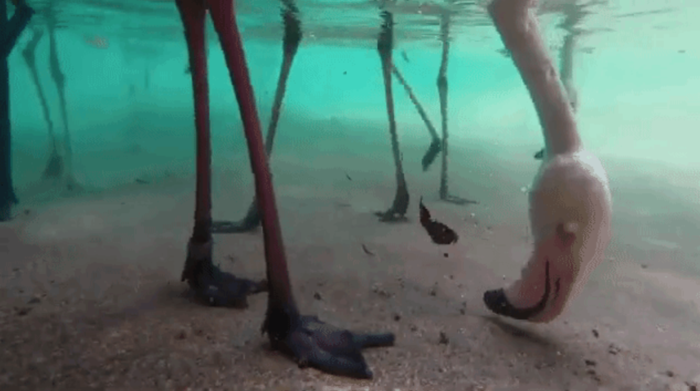 San Diego Zoo Installs Underwater Camera to Show the Interesting Way Flamingos Eat