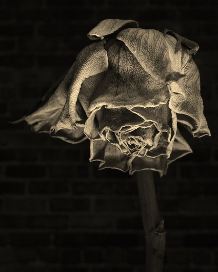 a dead rose analysis Hell must open like a red rose for the dead to pass each seeded poetry with flowers eurydice, written during hd's stay at corfe castle during world war i.