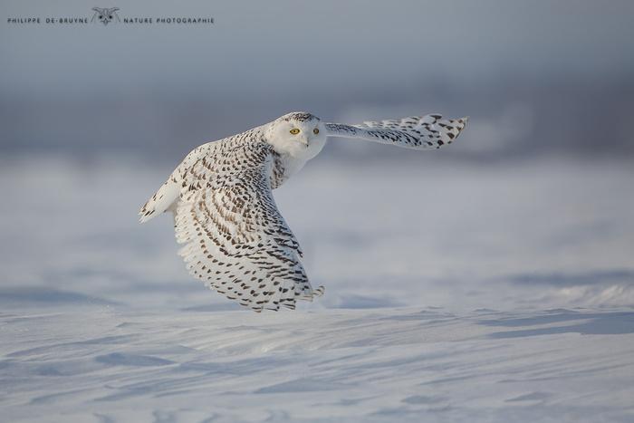 Snowy owl - Philippe DE-BRUYNE on Fstoppers