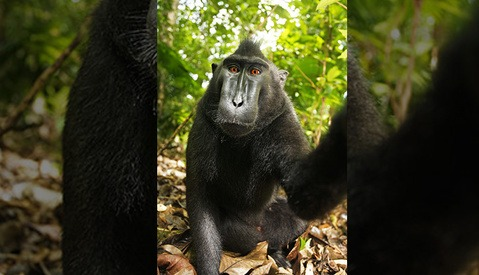 """UPDATED: Wikipedia Refuses to Remove Famous Photo Because Copyright is """"Owned by Monkey"""""""