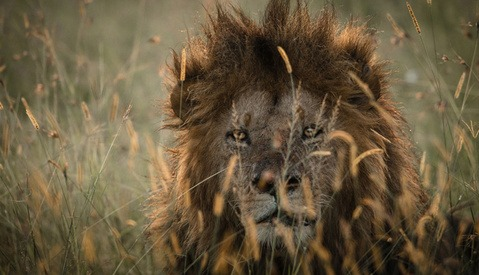 """Off The Beaten Track"" Photographs Lions in Masai Mara, Kenya"