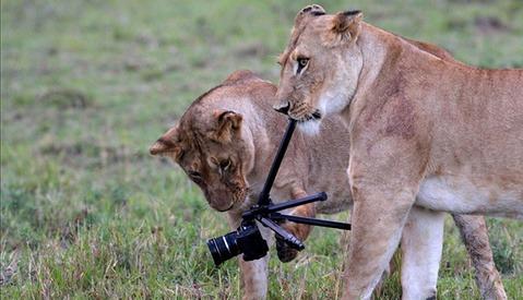 Lions Eat Photographer's Camera in Kenyan National Park
