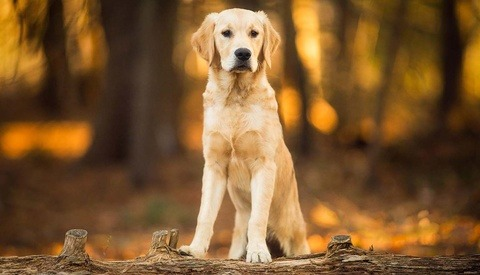 golden retriever sitting on log