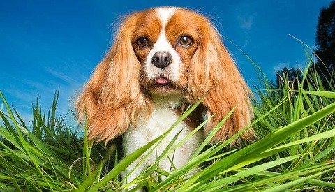 cavalier king charles spaniel standing in grass