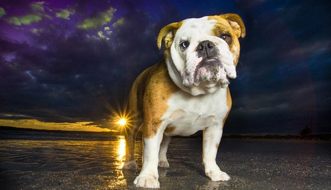 english bulldog standing on beach at sunset