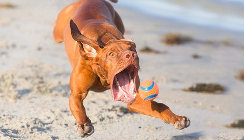 vizsla chasing ball at beach