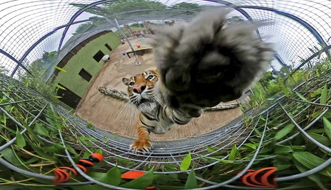 Tiger Chews on 360-Degree Camera While It Records