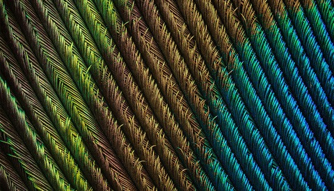 A Closer Look at a Super-Macro Project: Peacock Feather