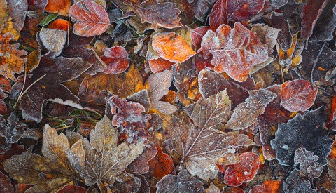 First frost of the year on autumn leaves