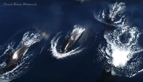 Photographer Captures Rare Drone Footage of Killer Whales off the California Coast