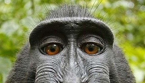 Court Ridicules PETA as Monkey Copyright Selfie Case is Settled