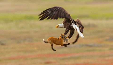 Eagle Battles Fox in Midair During 'Dramatic Act of Thievery'
