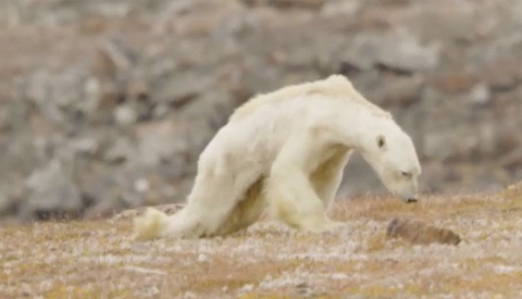 National Geographic Admits Polar Bear Video's Link to Climate Change Got 'Out of Hand'