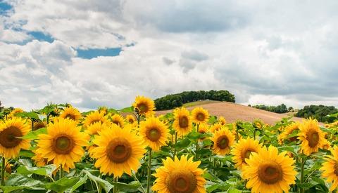 How a 'Zombie Apocalypse' of Selfie-Takers Turned a Sunflower Farm Into Pure Mayhem