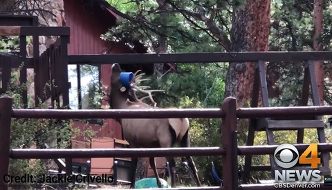 Wildlife Photographer Helps Save Elk Trapped in Swing Set