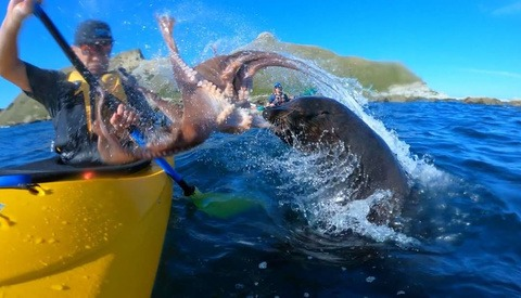 Kayaker Slapped in Face by an Octopus-Wielding Seal