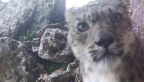 Elusive Snow Leopard Shoots Purrfect Selfies