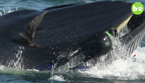 See the Moment a Dive Tour Operator Was Caught up in a Whale's Mouth