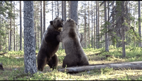 Photographer Captures Video Footage of Intense Bear Fight From Just Feet Away