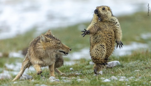 Photographer Who Captured the Exact Moment a Marmot Was Spooked by a Fox Wins Wildlife Photographer of the Year Award