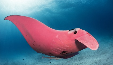 Photographer Snaps Rare Pink Manta Ray, Initially Suspects His Camera Malfunctioned Due to Its Color
