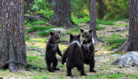 Photographer Hides in the Woods as He Captures Three Baby Bears Play-Fighting and Climbing Trees