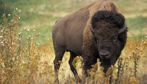 Elderly Woman Severely Injured After Being Gored by Bison She Was Taking Pictures of in Yellowstone National Park