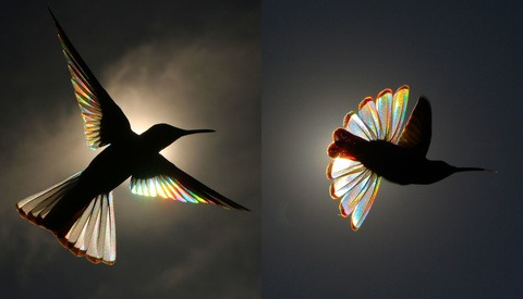 Photographer Catches the Rainbow-Prism Effect of Sunlight Passing Through Hummingbirds' Wings