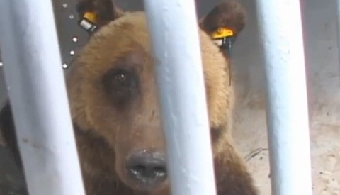 """Interactive Documentary """"Bear 71"""" Includes Video and One Million Photos"""