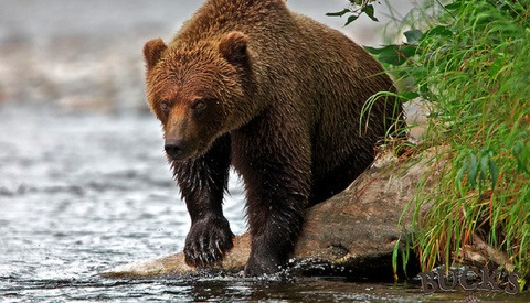 Man Killed While Photographing Grizzly Bear