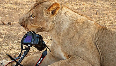 A Lion Goes to Town on a Canon 5D Mark II and Lens