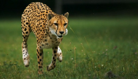 Final National Geographic Phantom Footage of Slow Motion Cheetah