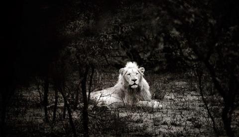 Timbavati's White Lions