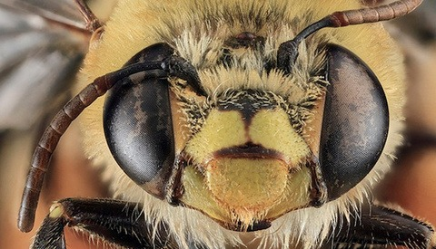 Free Macro Bee Photos Courtesy of the US Geological Survey