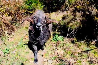 Angry Ram Knocks Drone From Sky And Attacks Photographer