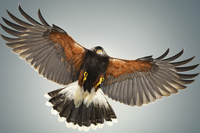 In-Studio Photographs of a Hawk in Flight, Karl Taylor Takes the Challenge