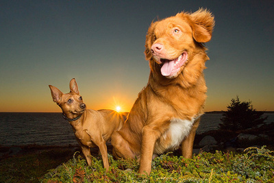 duck toller and miniature pinscher standing in sunset