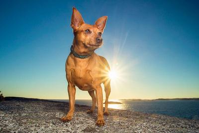 red miniature pinscher standing on rock at sunset