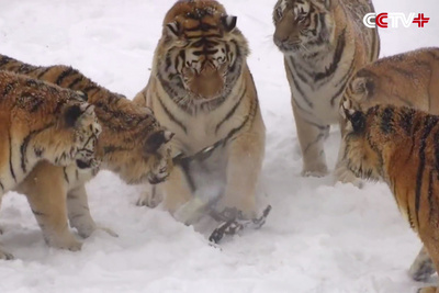 Video of Siberian Tigers Taking Down a Low-Flying Drone