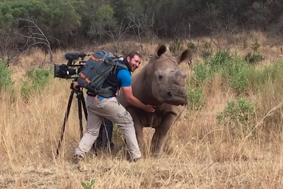 Rhino Gets Belly Rub From Kind Cameraman