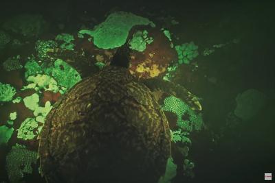 Using Canon's ISO 4.5 Million Camera to Capture Biofluorescent Turtles