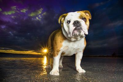 english bulldog standing on beach at sunset