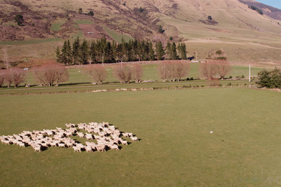 Drone Herds Sheep in Beautiful New Zealand