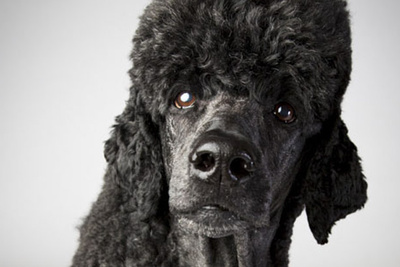 Photographing the Westminster Dog Show: Interview with Landon Nordeman