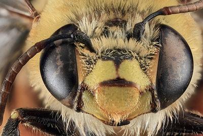 Free Macro Bee Photos Courtesy of the US Geological Survey