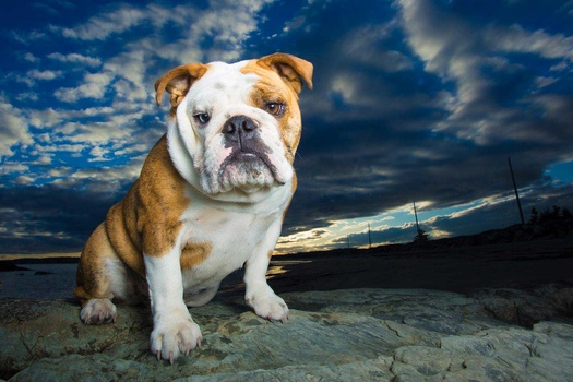 english bulldog sitting on rock