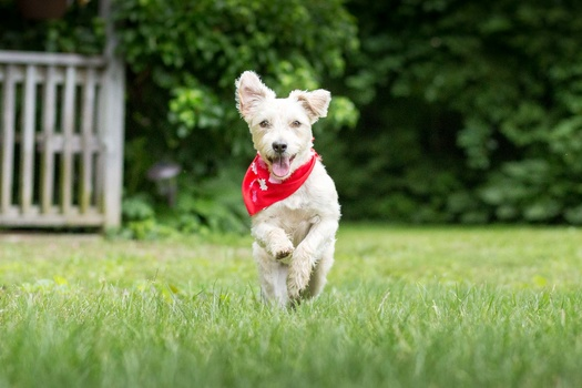 dog with red bandana running in grass
