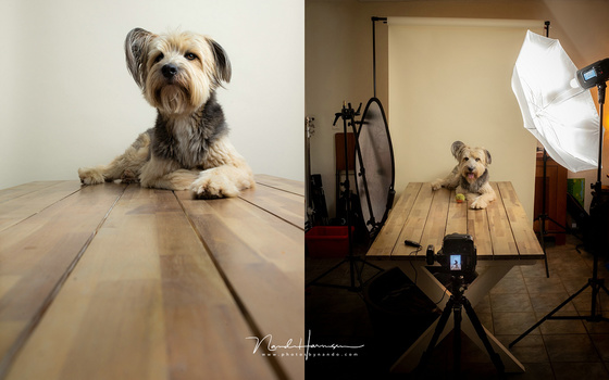 Using the Godox in a home made studio, shooting the dog. It works perfectly and the light is... well, good.